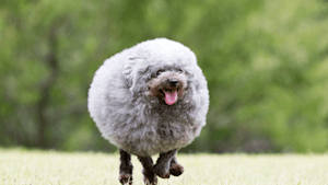 Small adorable dog resembles a mini sheep