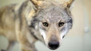 """Überfahren und jetzt präpariert: """"Mainzer Wolf"""" soll im Museum landen"""