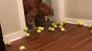 Dog surprised by seeing many tennis balls