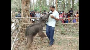 Rescued baby elephant becomes friends with carers