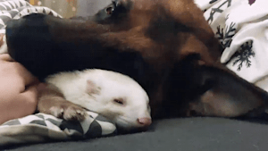 Ferret and German shepherd do everything together