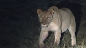 Wunderschöne Südafrika-Momente: Löwenfamilie bei Sonnenaufgang getroffen!