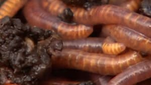 Worms reduce waste at Australian airport