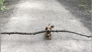 Adorable dachshund loves this giant stick