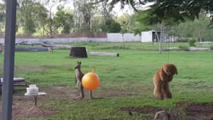 Kangaroo Joey loves her toys