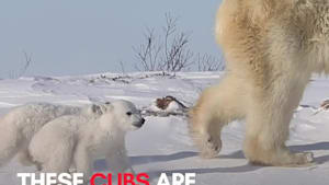 Adorable polar bear cubs take stroll with mom