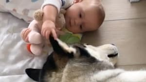 Husky and small toddler share adorable bond