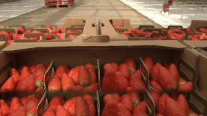 Erdbeeren leiden unter Coronavirus: Erst ernten, dann wegwerfen?