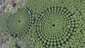 Strange Tree 'Crop Circles' Are Being Spotted In Japan