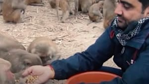 Businessman feeds hungry monkeys every week