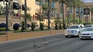Geese wander along the Las Vegas strip