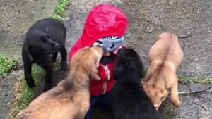 A bunch of puppies adorably kiss a baby