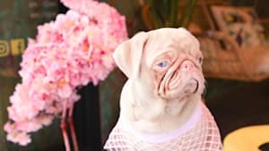 Pink pug is Instagram famous