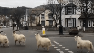 Goats take over the streets of this town in Wales