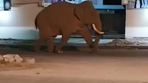 Giant tusked elephant roams the highway