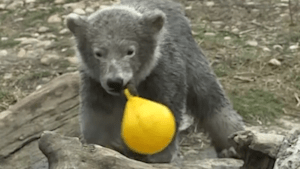 Baby polar bear has a blast in closed zoo