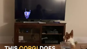 Confused corgi gets mad at TV