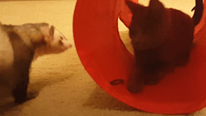 Cute kitty and ferret share adorable friendship