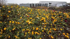 Wegen Corona: Blumen landen tonnenweise im Müll