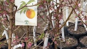 Make fewer grocery trips with your own fruit tree