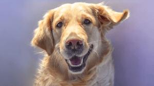 Retter in der Not: Hund erledigt für kranke Frau Einkäufe in der Quarantäne