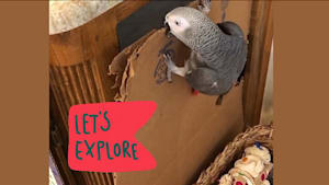 Determined talking parrot has a case of wanderlust