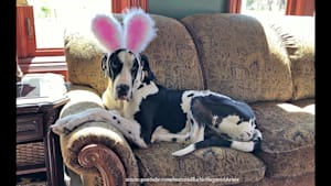 Great Dane isn't too sure about his bunny ears