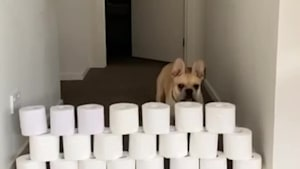 French Bulldog does the toilet paper challenge