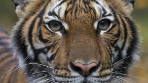 Covid-19: Tiger und Löwen erkrankt - Sorge um Menschenaffen