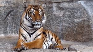 New York: Erster Tiger positiv auf Covid-19 getestet
