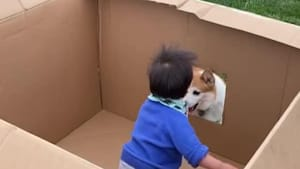 Toddler has fun From Inside Cardboard Box Playing Fetch with Dogs