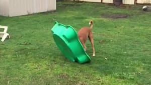Rambunctious boxer playfully bounces on toy