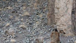 In diesem Bild versteckt sich ein Schneeleopard: Könnt ihr ihn finden?