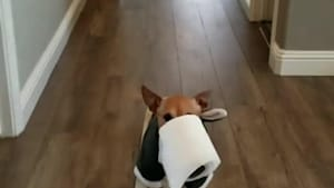 Dog Gets on Skateboard and Brings Toilet Paper Grabbed in Mouth During Quarantine