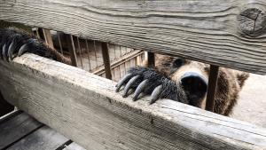 Mann klettert in Zoo-Gehege und kämpft mit einem Bären (Video)
