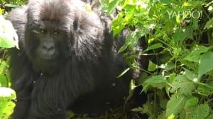 Let's go mountain gorilla trekking