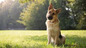 Aus diesem Grund neigen Hunde den Kopf, wenn man mit ihnen spricht