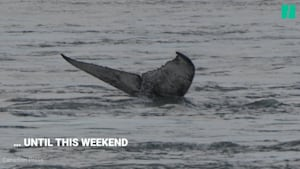 Humpback Whale Spotted In St. Lawrence River
