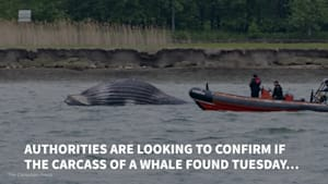 Whale Found Dead In St. Lawrence River