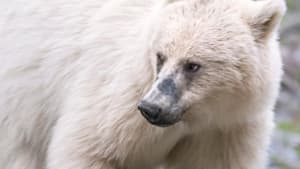 Please Stay Away From The White Grizzly: Park Officials