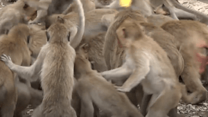 Thailand city has become overrun with wild hungry monkeys