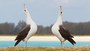 Mini-Fressfeind greift an: Albatrosse vom Aussterben bedroht?