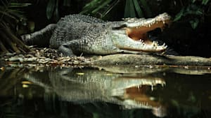 Krokodile, Gaviale und Alligatoren: Das sind die drei Krokodilfamilien