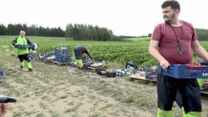 Ehrensache Erdbeer-Ernte: Finnen greifen Farmern unter die Arme