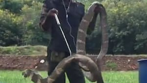 Massive 15-foot-long king cobra was found outside of a home
