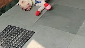 Dog Gets Excited And Slips Wearing New Shoes