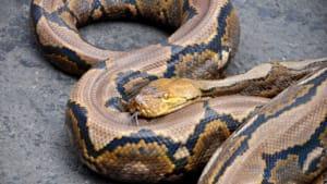 Unerwarteter Gast: Als sie vom Feiern zurückkommt, stolpert sie im Flur über eine Python