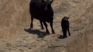 California hikers airlifted after being chased by angry cow
