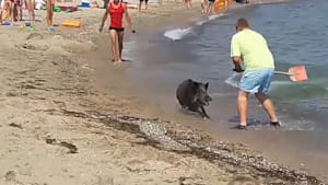 Schönhagen: Wildschwein mischt Badegäste auf