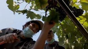 Pralle Reben, leere Gläser: Italiens Weinexporte straucheln